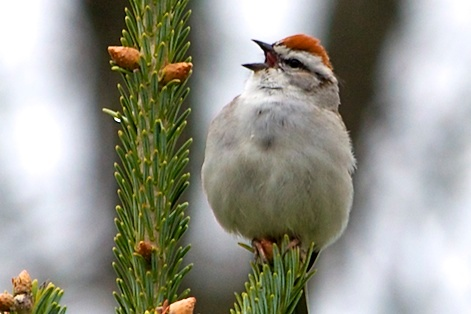 A Chipping Sparrow singing at the top a Christmas Tree at Distant Hill Gardens.