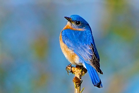 A male Eastern Bluebird at Distant Hill Gardens.