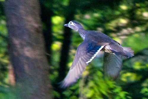 A female Wood Duck in flight at Distant Hill Gardens.