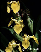 Iris und Wasserfeder, Foto: J. Alberti