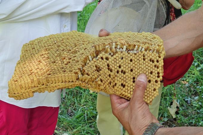 28. Mai: gedeckelte Waben mit Larven von Drohnen. Sie sind dem Stock entnommen worden, um die dort am häufigsten vorkommenden Varroa-Milben gering zu halten