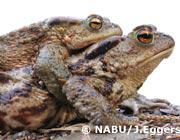 Erdkröte, Foto: NABU/J. Eggers