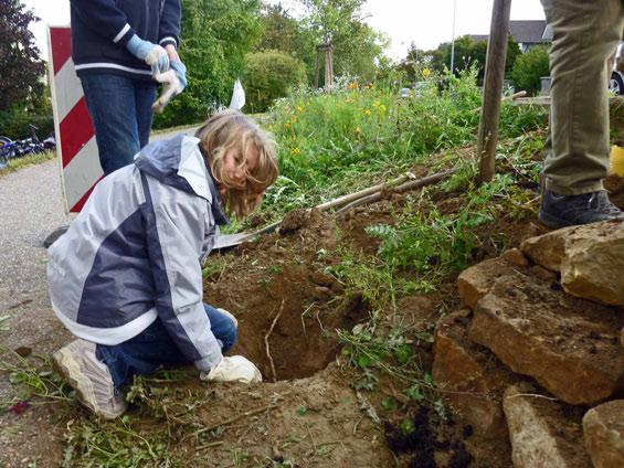 Die Pfahlwurzel eines Japanischen Knöterichs wird ausgegraben, damit sich die Pflanze nicht weitervermehrt - ein mühsames Geschäft in dem harten Boden.