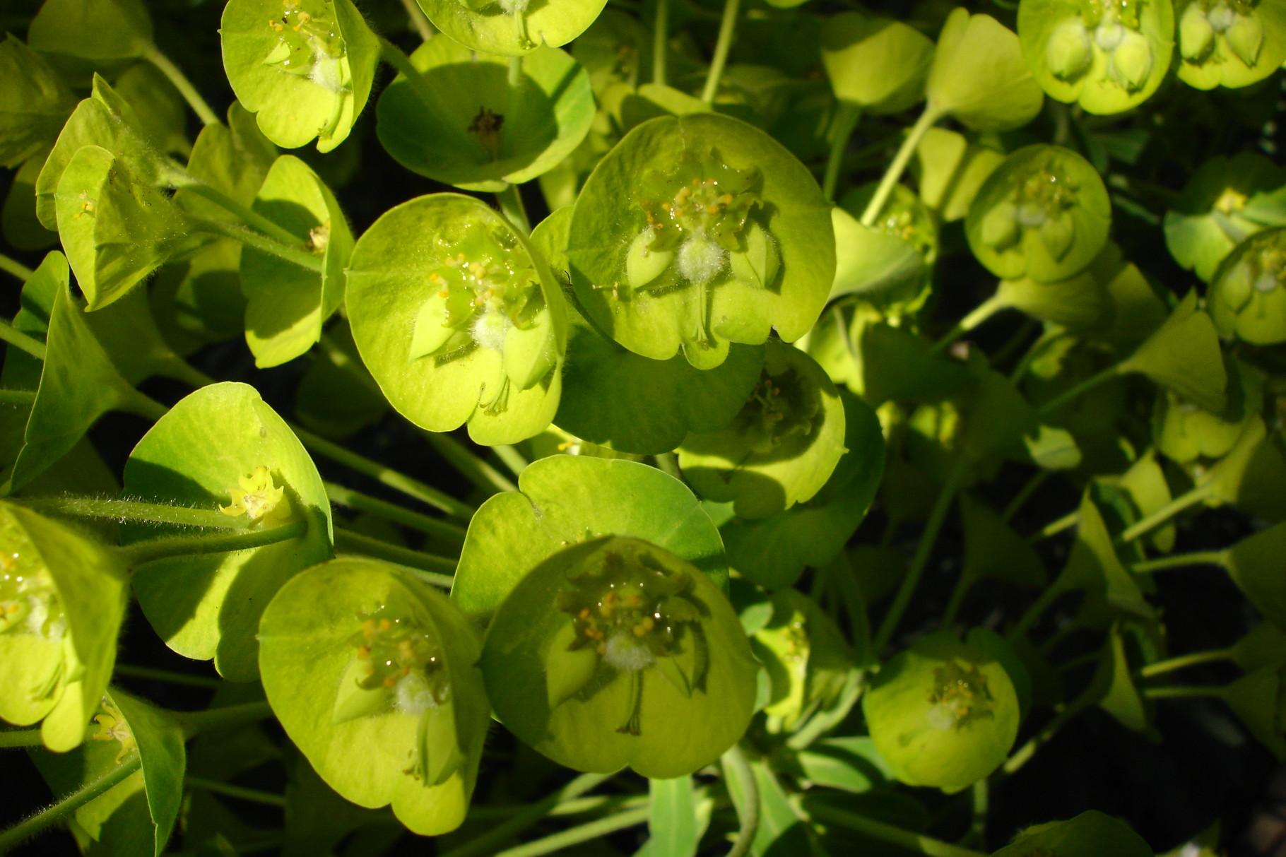 Euphorbia characias 'Wullfenii'