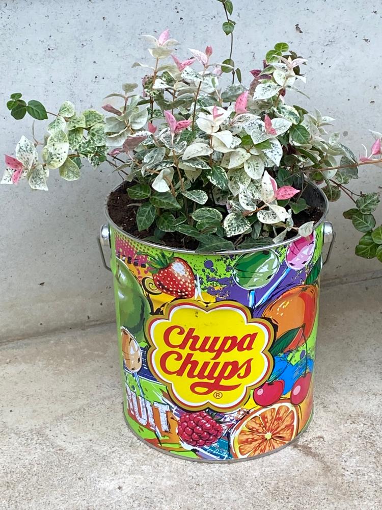 チュッパチャップスの缶にハツユキカヅラを植えたよ♪