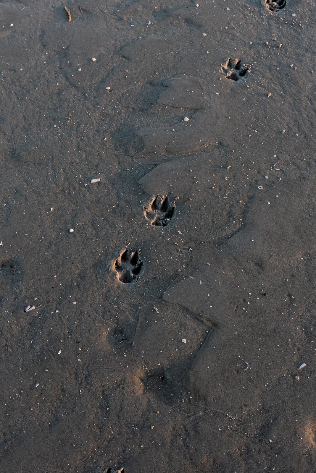 Pfotenabdruck im Sand