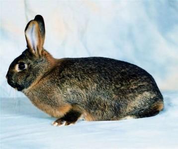 Afbeeldingsresultaat voor deilenaar konijn