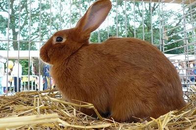 Afbeeldingsresultaat voor nieuw zeelander konijn