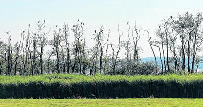 Baum für Baum belagern die Kormorane am Schmollensee