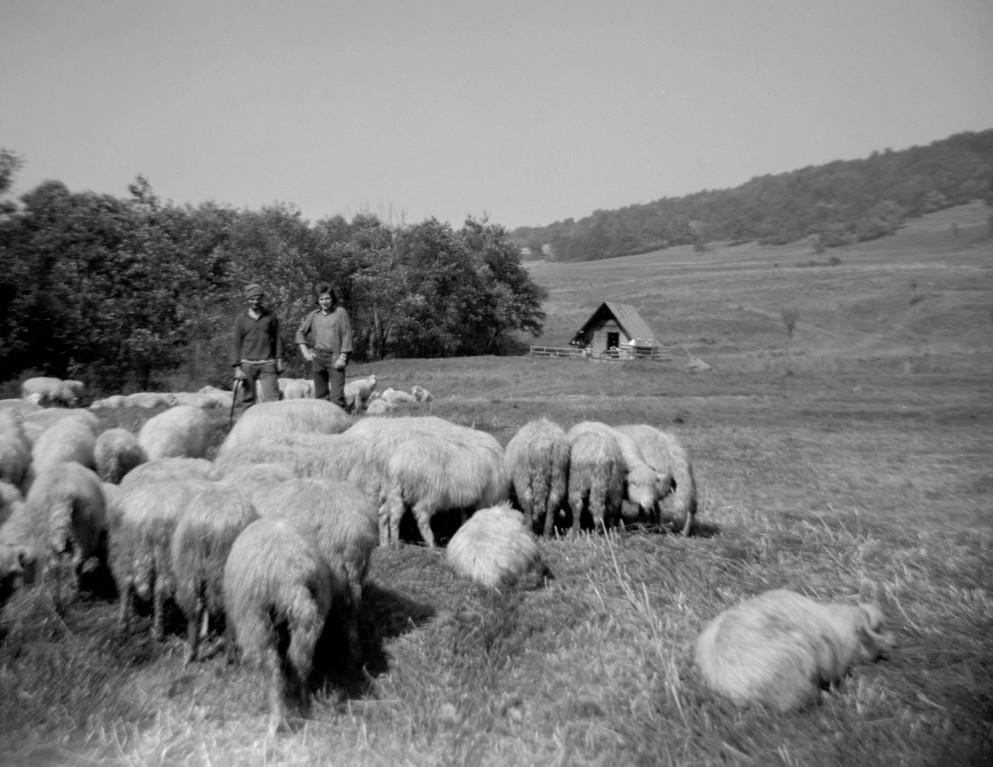 Pasterze z owcami. Fot. Dominik Księski