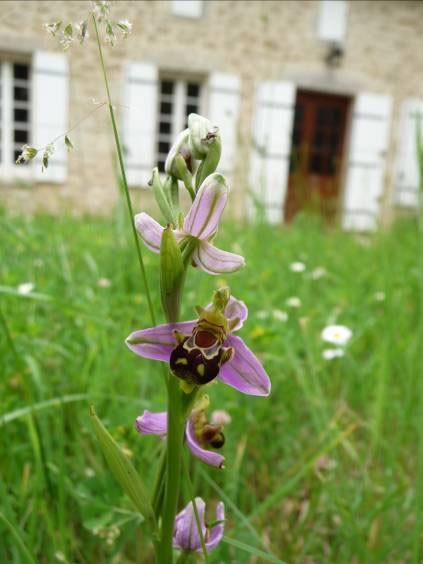 Gîte Ruch-orchidées au printemps