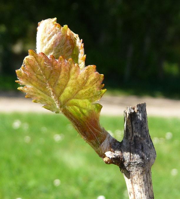 Printemps- Débourrage de la vigne-Début Avril