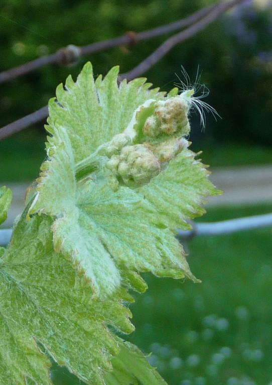 Printemps- Bientôt la fleur de vigne