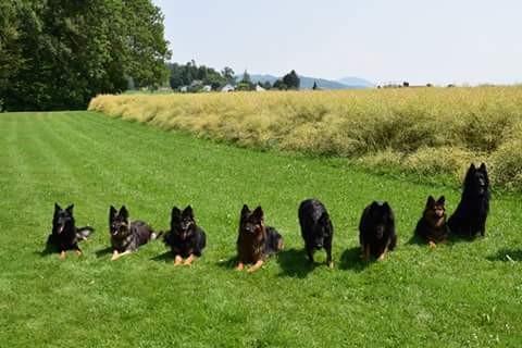 Chodenländerhunde in der Schweiz, ganz rechts Inca und Bonita