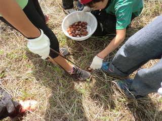 東国吉遊育の森 イガに気を付けて中身を取り出します