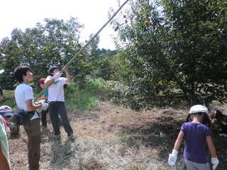 東国吉遊育の森 栗を木から落とします