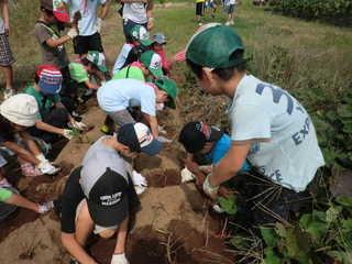 東国吉遊育の森 サツマイモ掘り