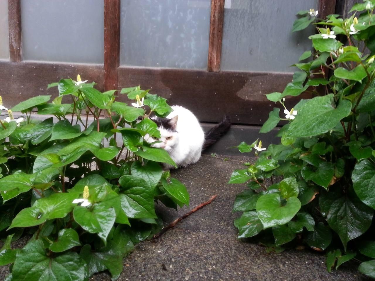 どくだみ草の隙間から、おはようにゃん! 【2014年5月27日】