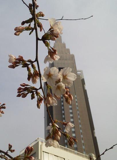 今日の代々木ドコモ桜。夕方からの暴風に耐えろ! 【2012年4月3日】