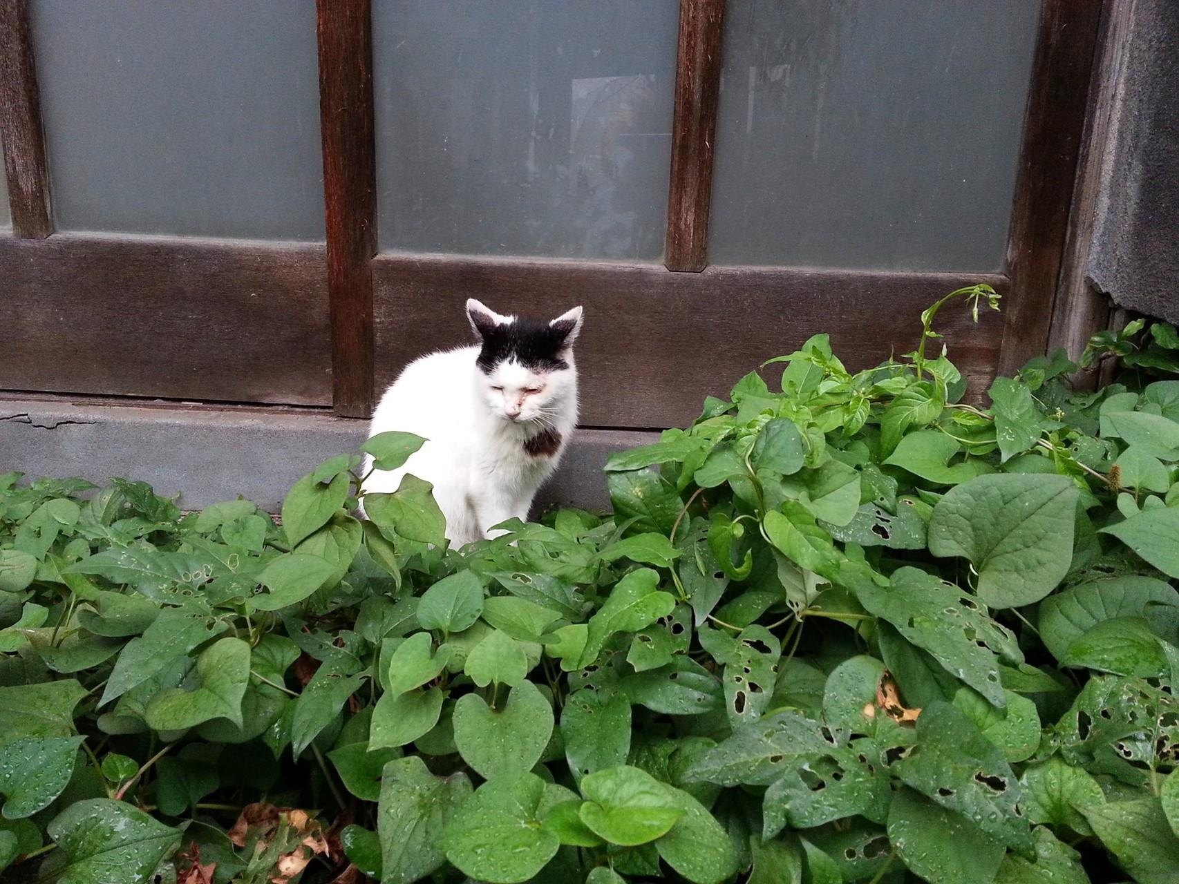 雨が降っとるとです。門番もせにゃ、ならんとです。ぬこ田です、ぬこ田です、ぬこ田です...。 【2014年8月14日】