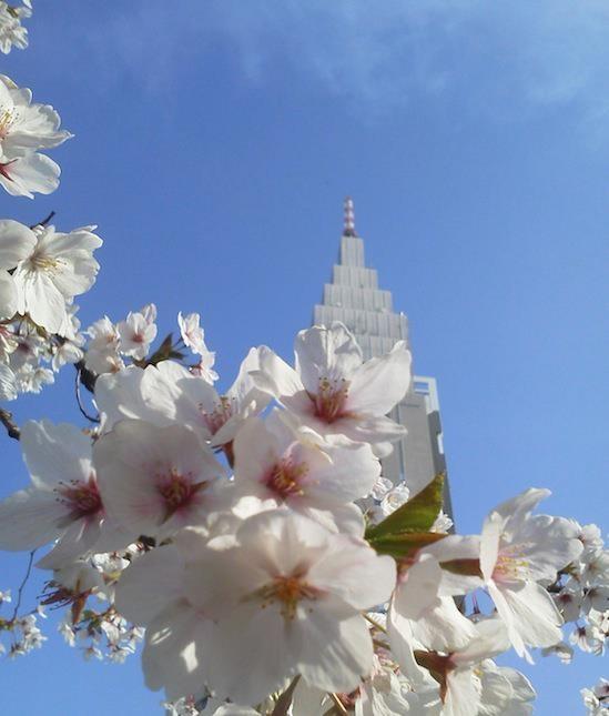 今日のドコモ桜。そろそろ散り始めていまつ。 【2012年4月10日】