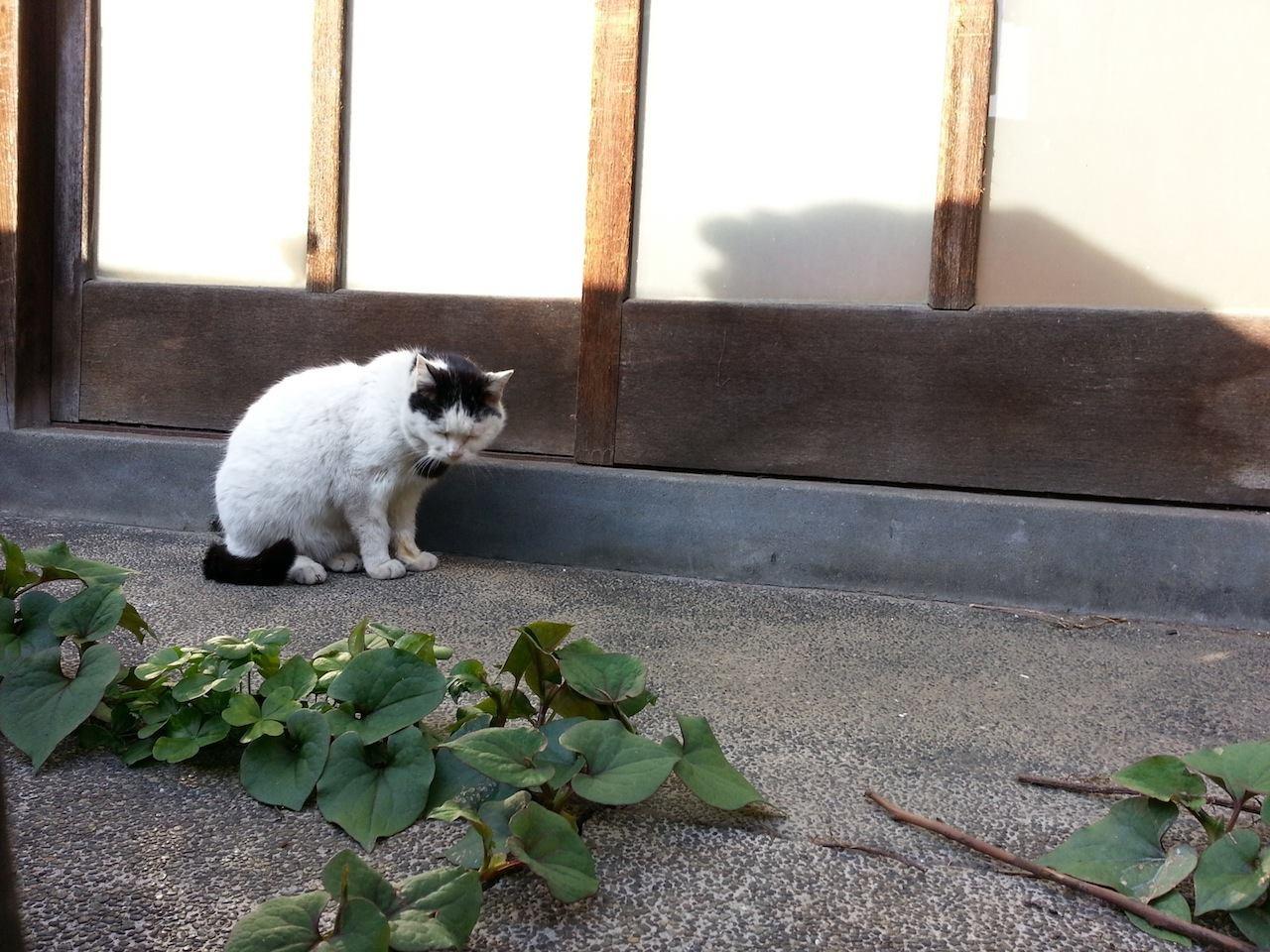 どくだみをジッと見つめるぬこ田さん。 【2014年4月12日】