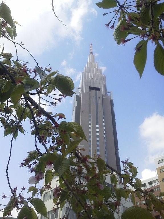 三日ぶり、昼下がりのドコモ桜。花びら少々。 【2012年4月18日】
