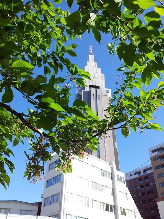 すでに初夏っぽい葉っぱのようなドコモ桜。 【2013年4月8日】
