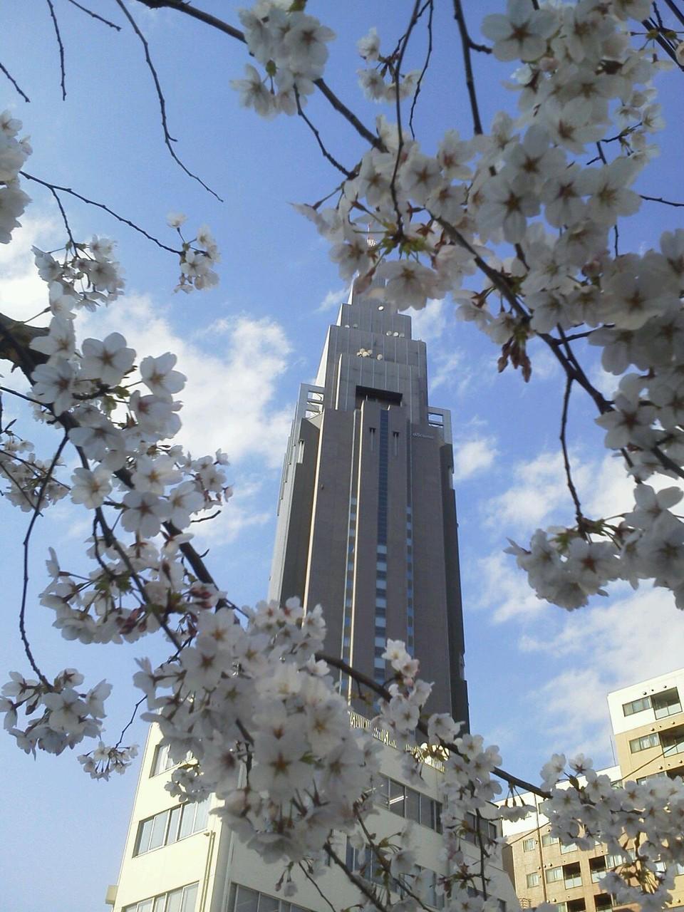 桜、ドコモ、もふもふ。 (´▽`) 【2012年4月6日】