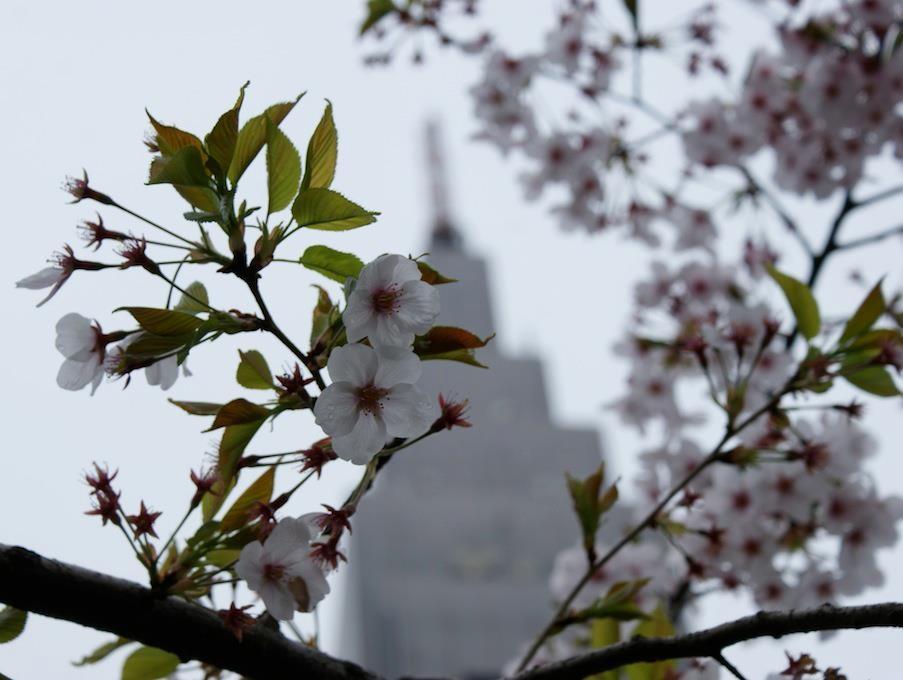雨のドコモ桜をデジカメで撮ってみたりすて。w 【2012年4月11日】