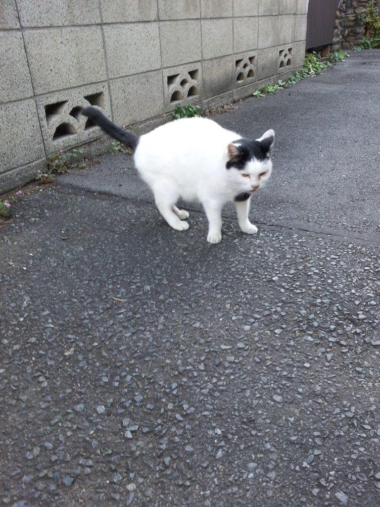今朝のぬこ田健作。吉川くん、俺はぬこだ! シャー! 【2013年11月13日】