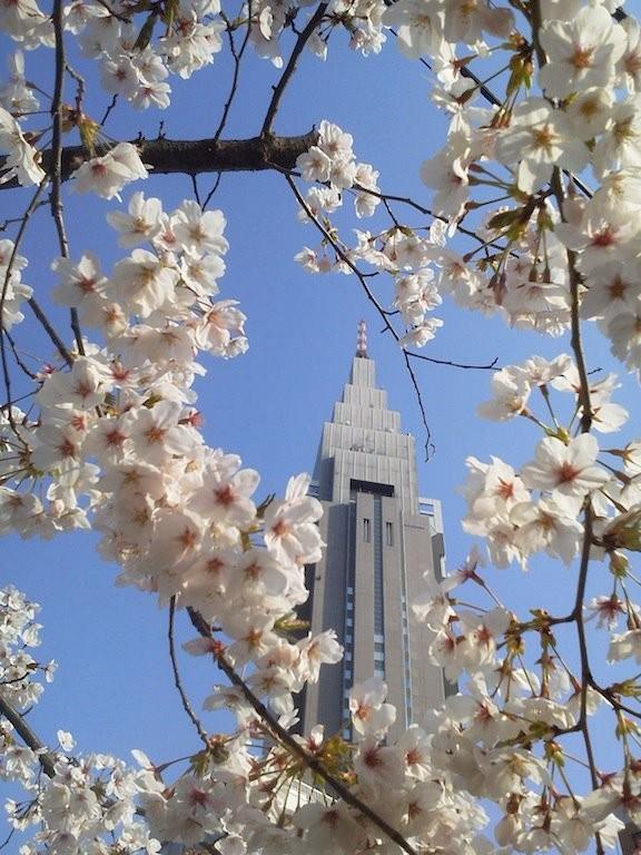 ドコモ桜、本日満開!…多分・:*:・(*´∀`*)ウットリ・:*:・ 【2012年4月9日】