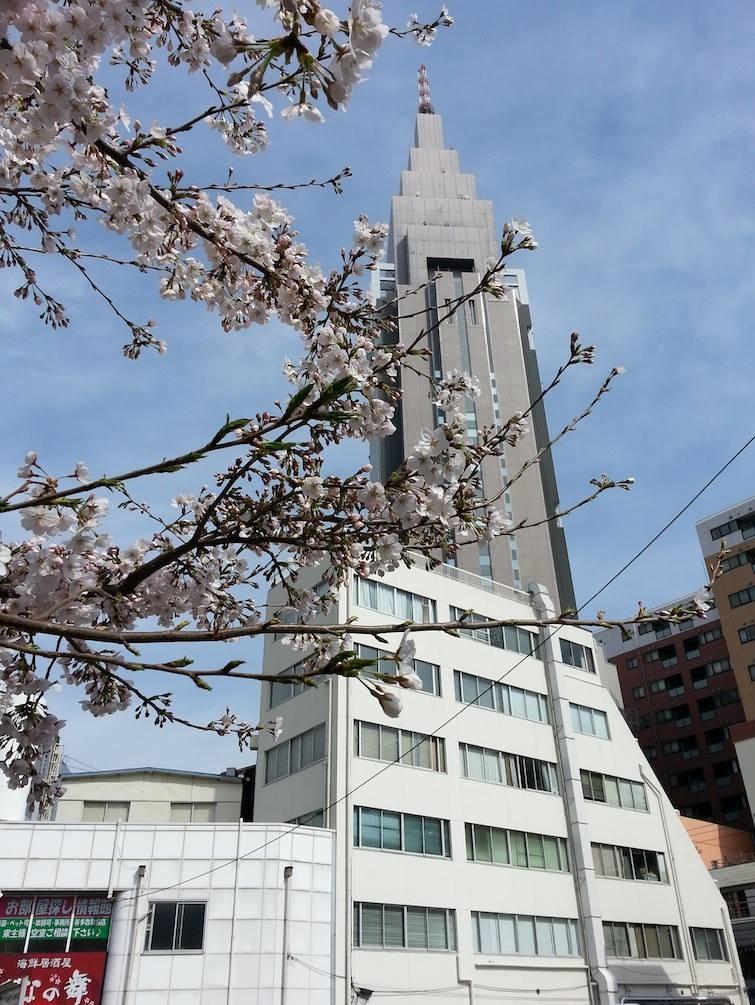 七分咲きかなぁ。~ヘ(´ー`*) 【2014年3月29日】