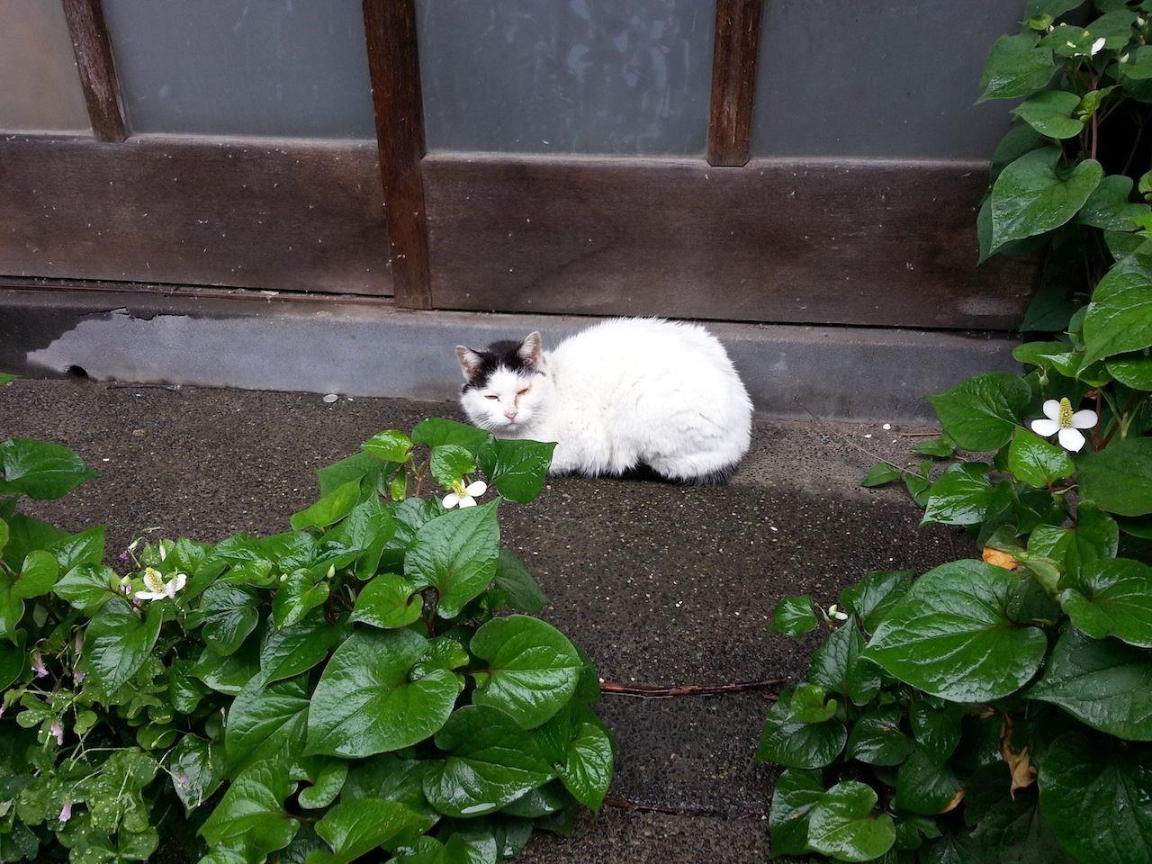 昼下がりのぬこ田健作さん。本日は玄関前にて終日雨宿り決定! 【2014年5月21日】