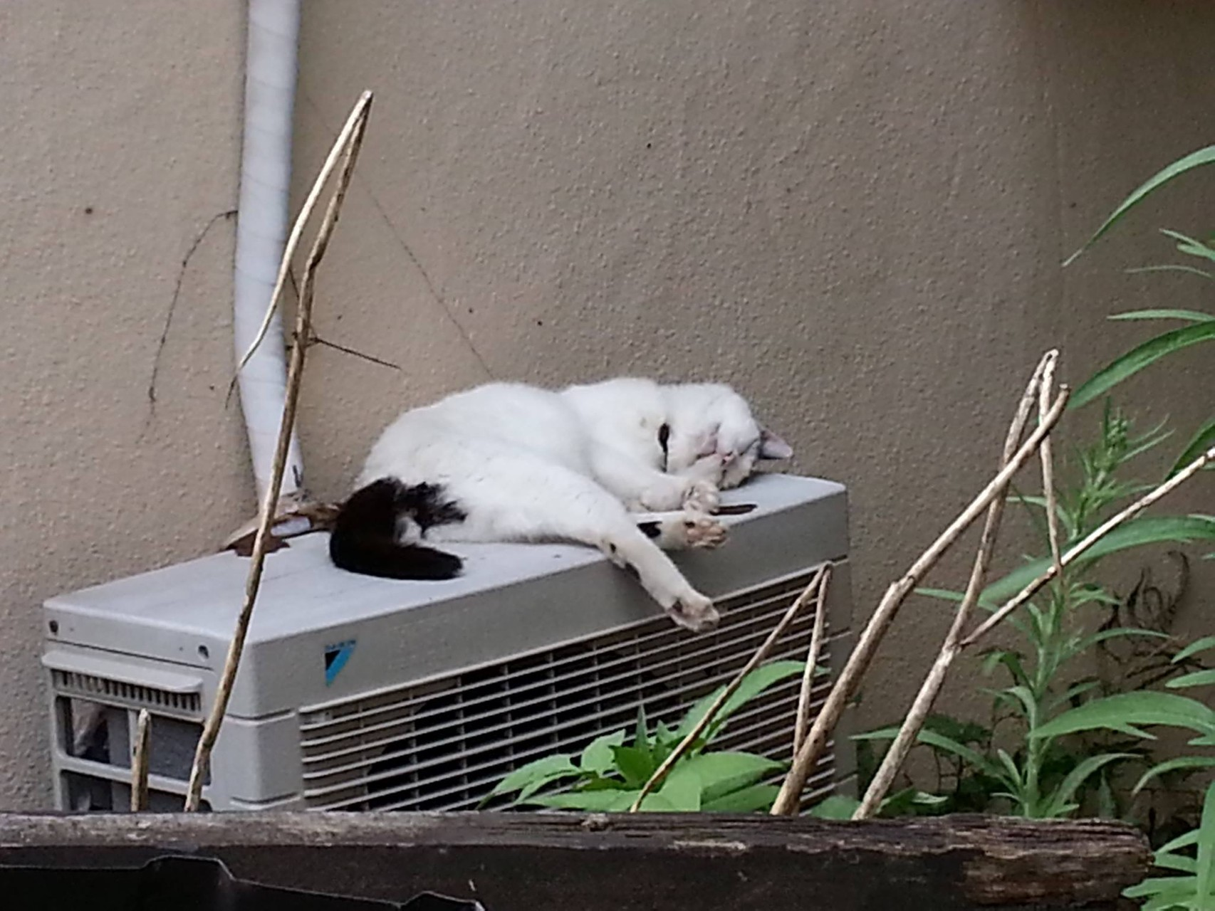 ぬこ田さん、暑さにメゲズ爆睡ちう! 【2014年8月4日】