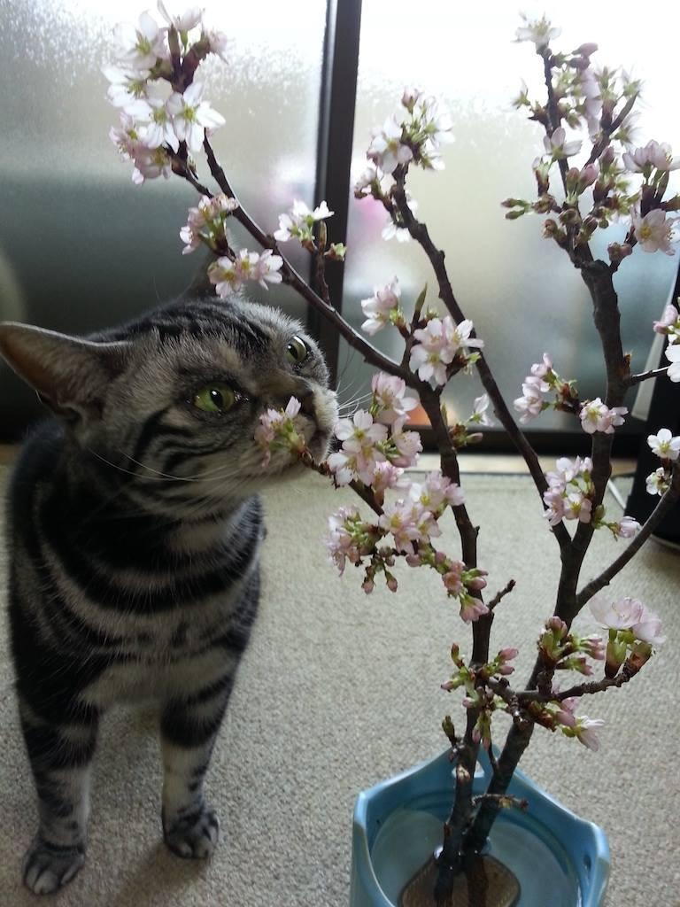 寅、花見ちう。さすがに喰わないやうでつ。w 【2014年3月23日】