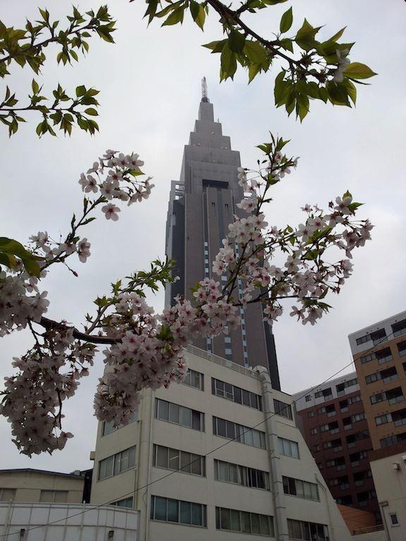ドコモさくら、今年は時間差開花のようで、すでに散り始めている花もあり、一斉満開にはならず。 【2013年3月29日】