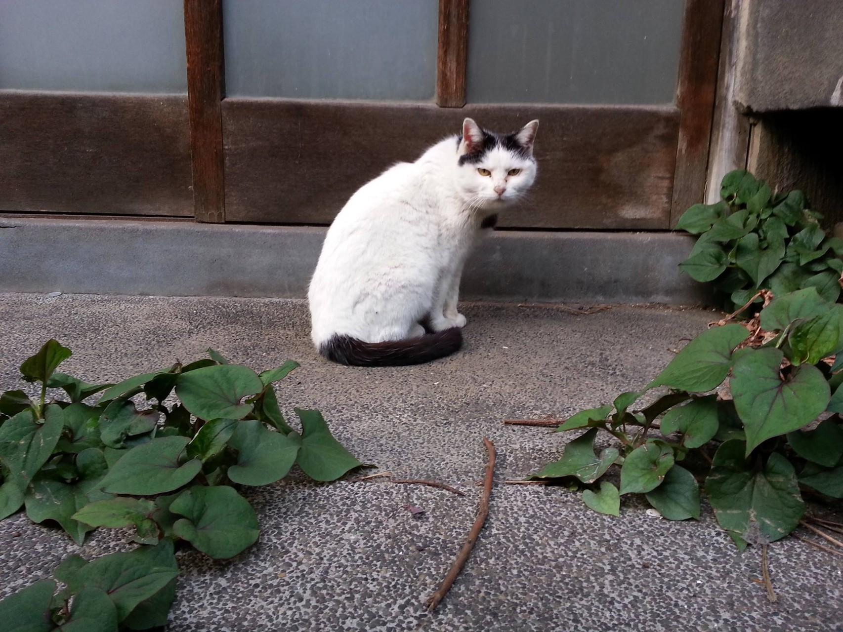 今日のぬこ田健作さん。カメラ目線でつが、相変わらずのスーパー三白眼でつね。 【2014年4月17日】