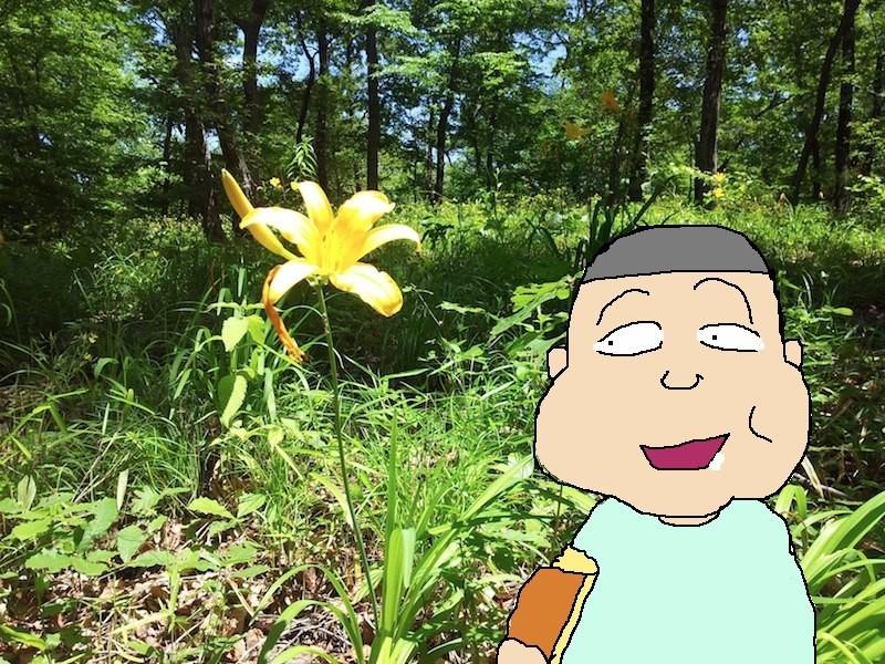 この時期恒例、おでんちの前の浅間山のムサシノ キスゲが満開でつ。太っているコスギぢゃないよ。 【制作日/2013年5月12日】