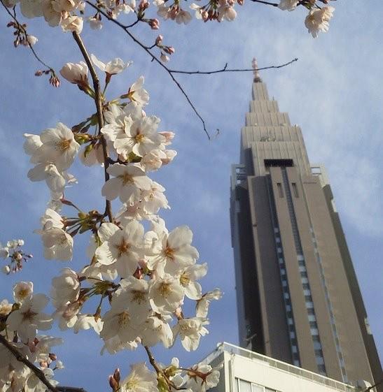 今日の代々木ドコモ桜。昨日とあまり変わらず。 【2012年4月5日】