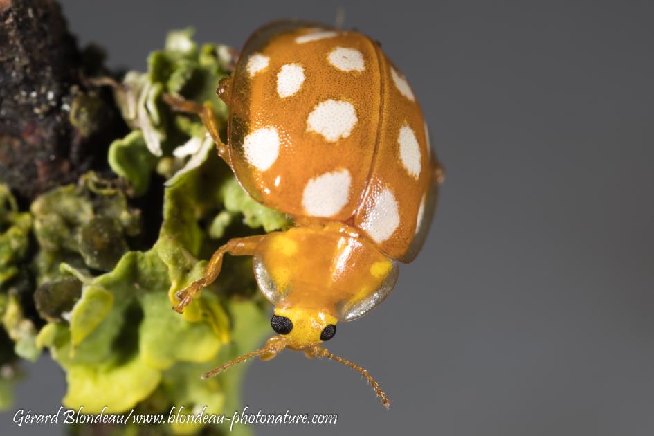 La grande coccinelle orange (Halizia 16pts) hiverne à l'état adulte et consomme surtout des moississures