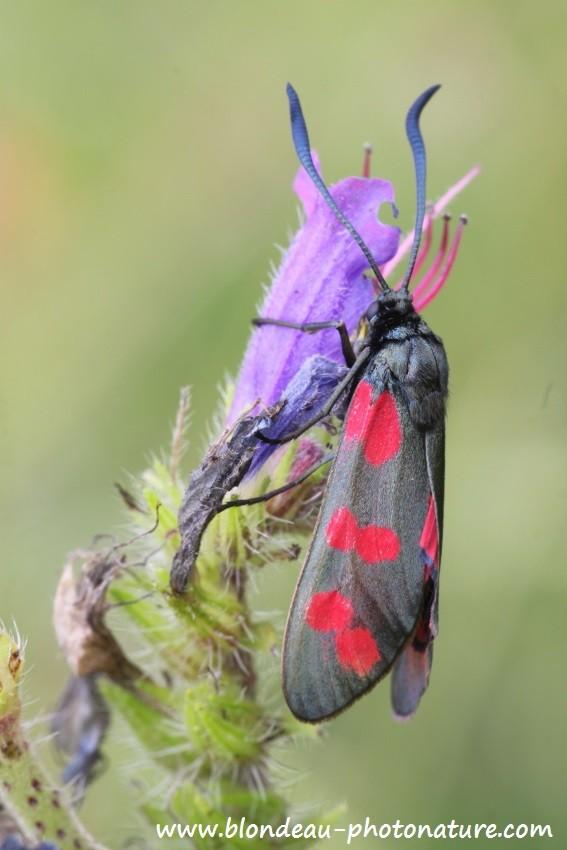 Zygène de la filipendule (Zygaena filipendulae) l'adulte est toxique, d'ou son vol nonchalant