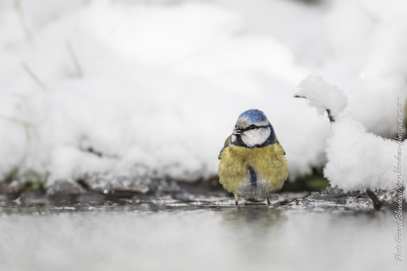 Mésange bleue au bain