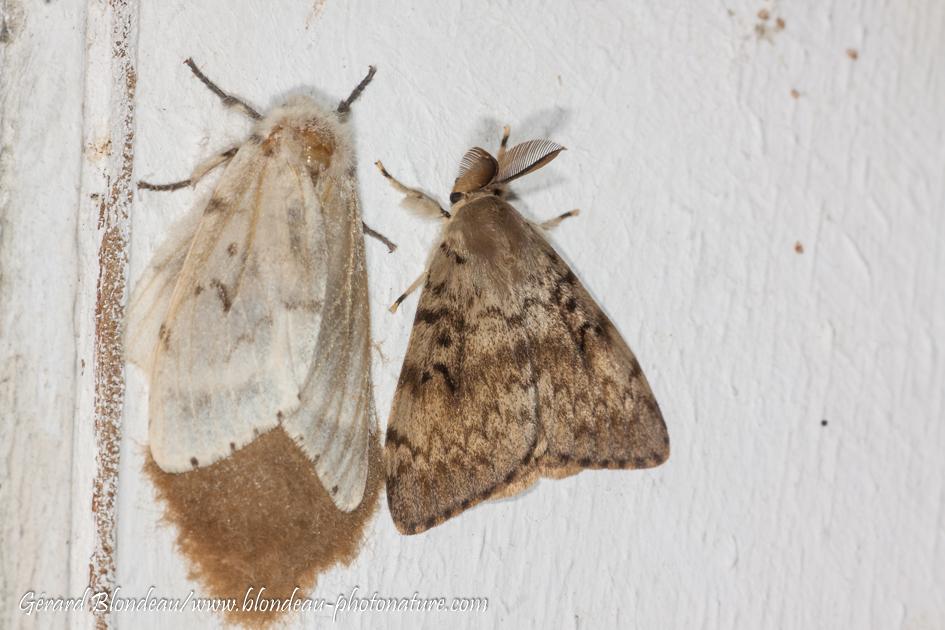 Un couple de bombyx disparate, à gauche le femelle sur sa ponte