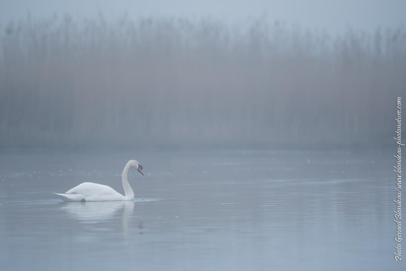 Cygne tuberculé dans la brume matinale