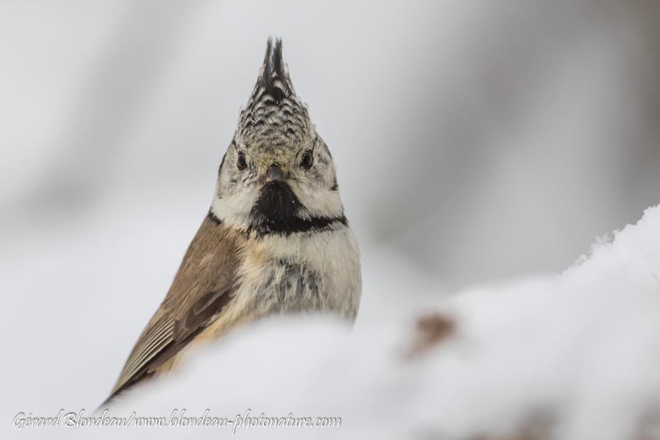 Mésange huppée (Parus cristatus)