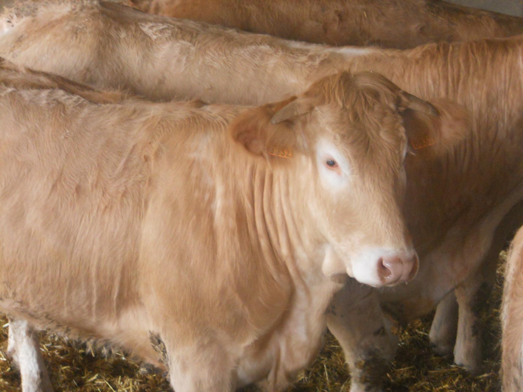 Blonde d'Aquitaine - Ferme Gardelly - 40500 Fargues - Landes