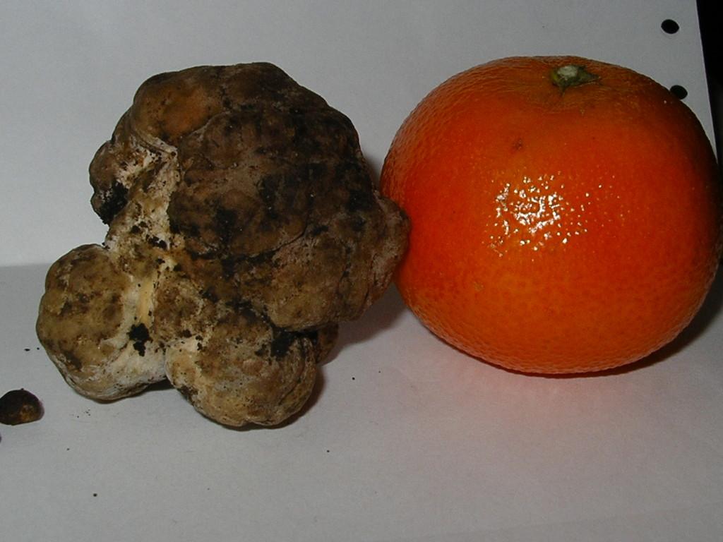 T. Borchii (Bianchetto o Marzuolo)