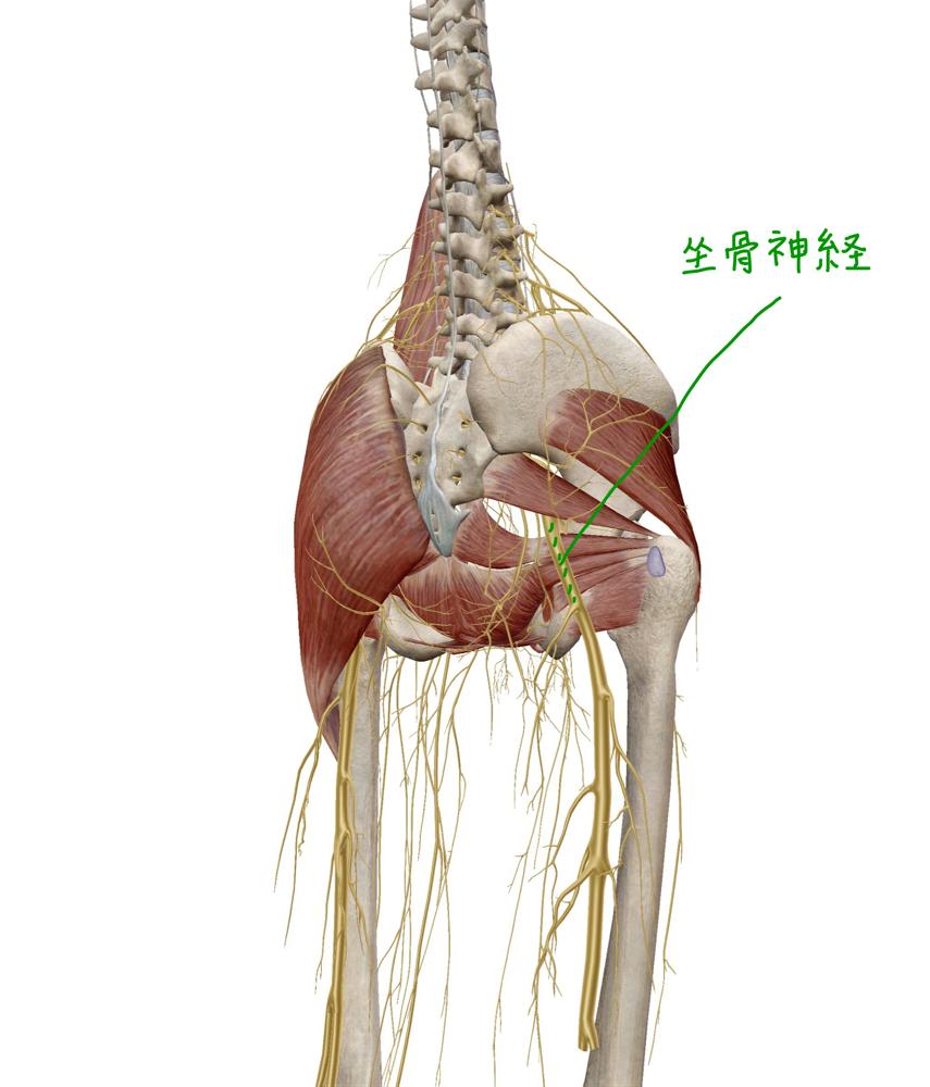 坐骨神経 後面