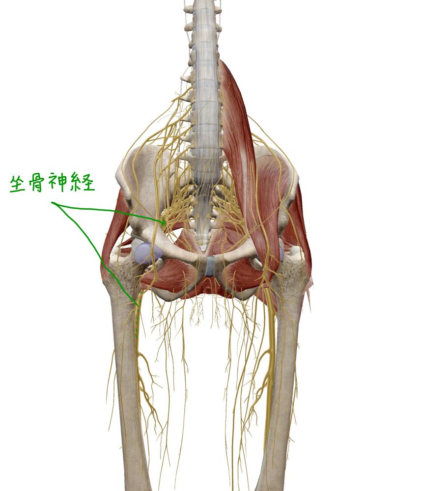 坐骨神経 前面